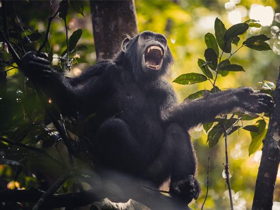 מפגש עם שימפנזה/ צילום: דן ליאור