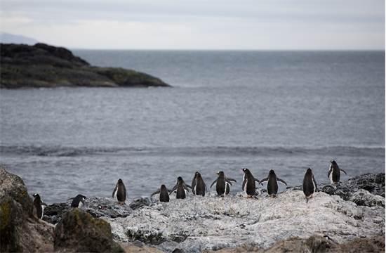 פינגווינים מזן ג'נטו באנטארקטיקה / צילום: Abbie Trayler-Smit, גרינפיס