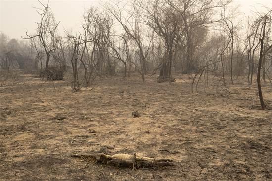 שרידו של אליגטור שנהרג באחת מהשריפות בשטחי הפנטנאל / צילום: Andre Penner, AP