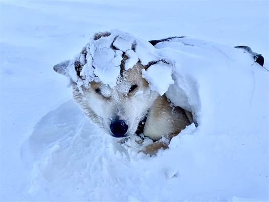 אחד הכלבים בונה סביב עצמו איגלו כדי לשמור על חום הגוף / צילום: תמונה פרטית