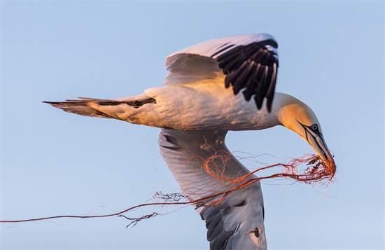 סוּלָה, עוף מים גדול, משתמש בפסולת פלסטיק מרשת דיג כדי לבנות קן. אותה פסולת יכול לגרום למותו מחנק / צילום: Robert Marc Lehmann, גרינפיס