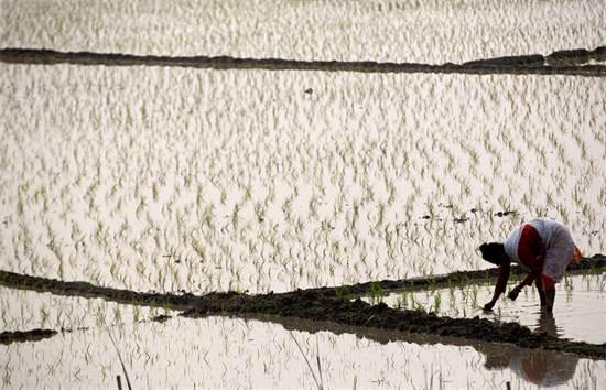 חקלאית הודית בשדה אורז בגאוהטי / צילום: Anupam Nath, AP