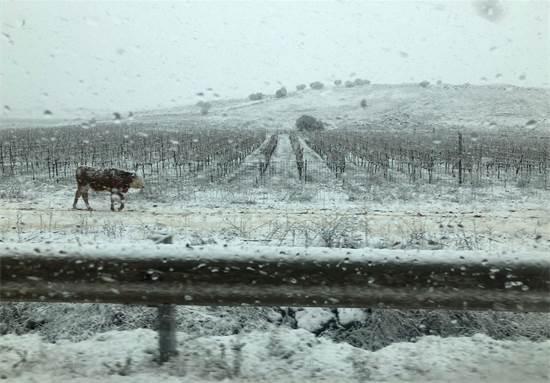 """שלג בכרמים של יקב רמת הגולן / צילום: משה פשרמן, יח""""צ"""