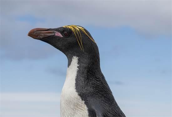 פינגווין הסלעים באנטארקטיקה  / צילום: Christian ?slund, גרינפיס