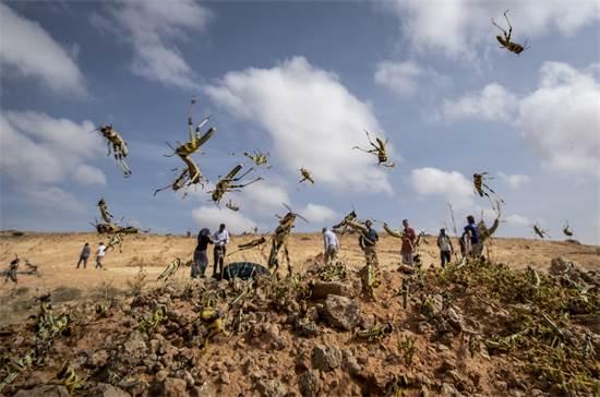 חרקי ארבה בסומליה / צילום: Ben Curtis, AP