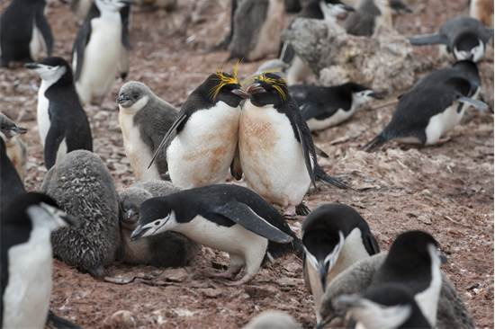 פינגווינים באנטארקטיקה / צילום: Christian ?slund, גרינפיס