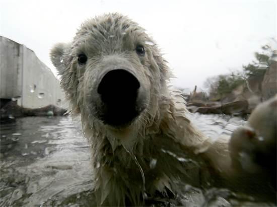 פינג'ה, גורת דב קוטב בת 4 חודשים בגן החיות Schoenbrunn בוינה, אוסטריה / צילום: Roland Zak, AP