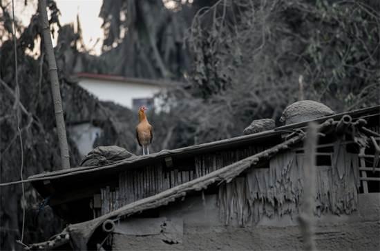 עוף על גג פח של בית, שמכוסה לחלוטין באבק וולקני מהתפרצות הר הגעש / צילום: Eloisa Lopez, רויטרס