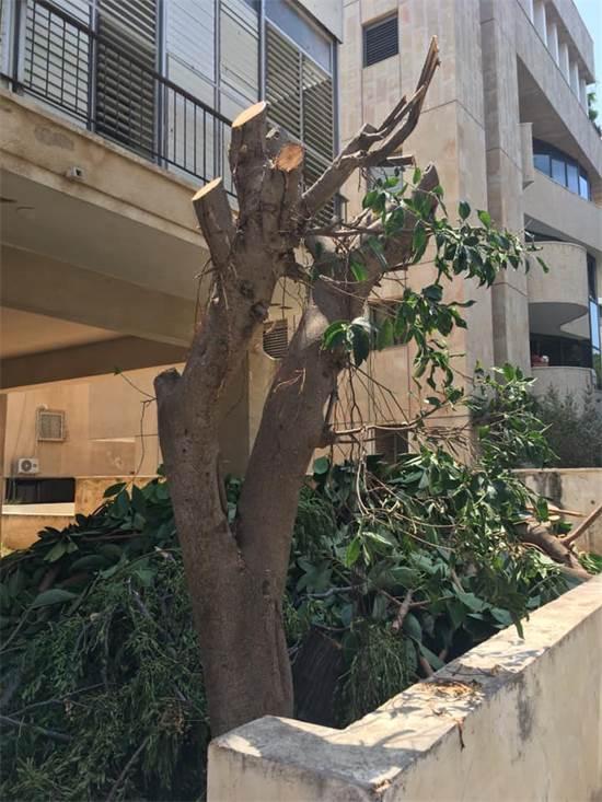 עץ כרות במרחב העירוני / צילום: אורנה אביקזר