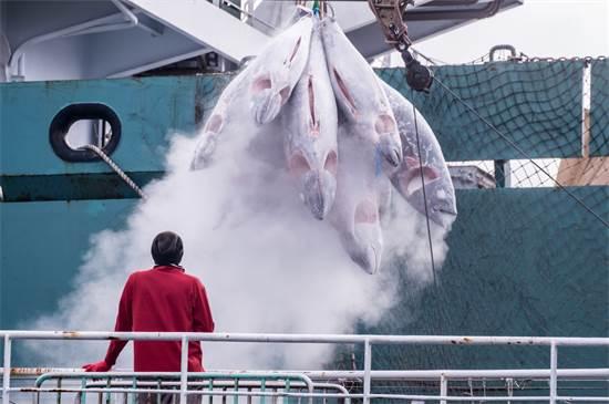 טונה קפואה בנמל בטאיוואן. למרות חשיבותם למערכת האקולוגית, מינים מסוימים של טונות נמצאים בסכנת הכחדה חמורה / צילום: Tommy Trenchard, גרינפיס