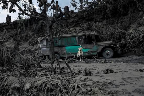 כלב שהושאר במגרש גרוטאות. האזור כוסה באבק וולקני / צילום: Eloisa Lopez, רויטרס
