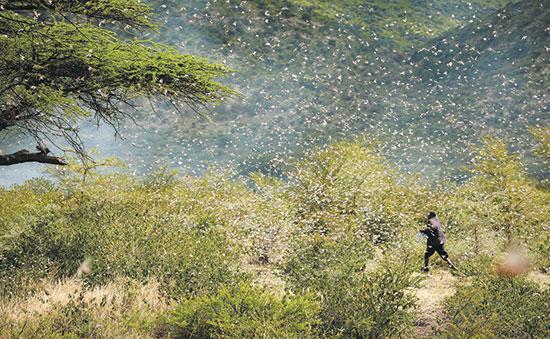 החקלאי האתיופי אחמד איברהים נלחם בנחיל ארבה  / צילום: GIULIA PARAVICINI, רויטרס