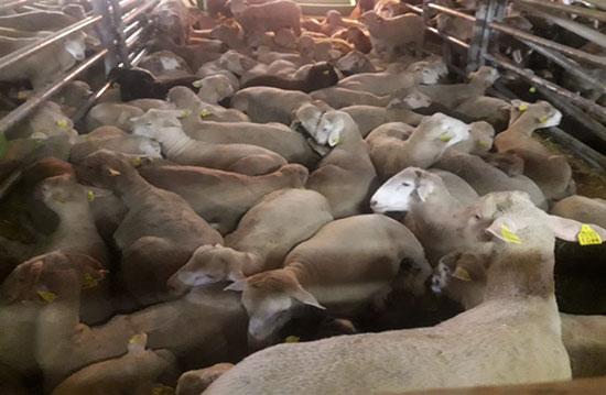 תנאי מחייה צפופים ללא כל מרחב לבעלי חיים לשחיטה / צילום: משרד החקלאות