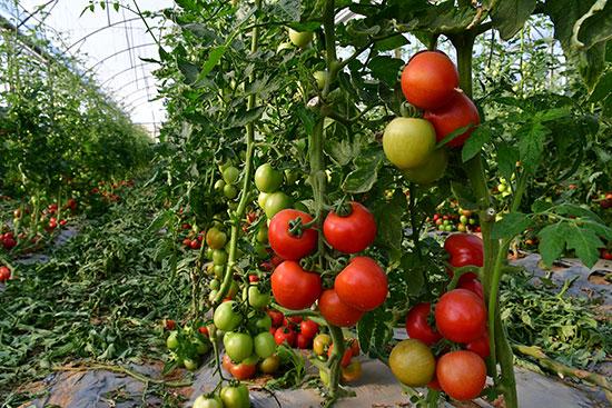 חממת עגבניות / צילום: רפי קוץ