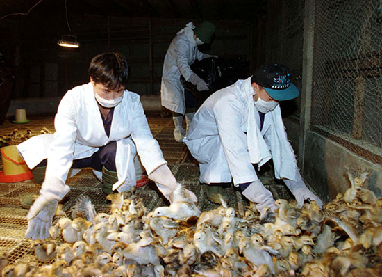 יותר ממיליון עופות הושמדו בעקבות שפעת העופות שפרצה ב-1997 בהונג קונג / צילום: רויטרס