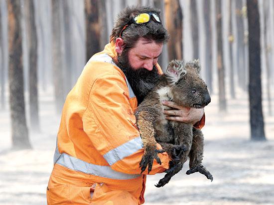 כבאי מציל קואלה / צילום: David Mariuz, רויטרס