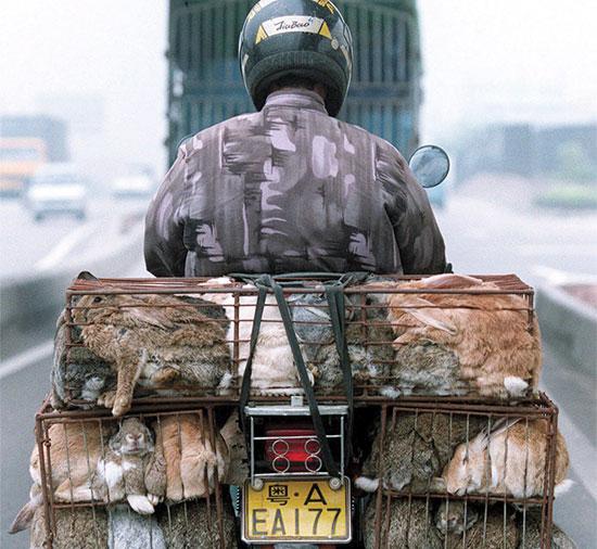 מוכר בדרכו לשוק המזון בגוואנגשאו / צילום: וינסנט יו, Associated Press