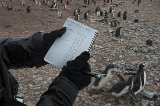 ספירת פינגווינים מזן ג'נטו באנטארקטיקה / צילום: Christian ?slund, גרינפיס