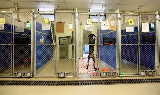 כלב מחכה שהבעלים החדש שלו יבוא לקחת אותו במכלאה ריקה במדינת ניו יורק / צילום: USA TODAY NETWORK, רויטרס