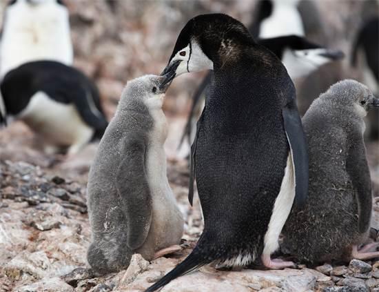 פינגווין רצועת-הסנטר וגוזל באי חצי הירח באנטארקטיקה / צילום: Abbie Trayler-Smit, גרינפיס
