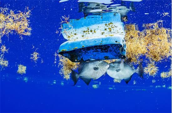דגי נצרניים שוחים לצד פסולת פלסטיק בים סרגאסו / צילום: Shane Gross, גרינפיס