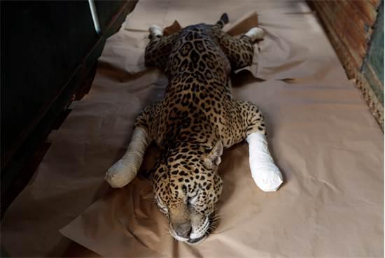 יגואר שסובל מכווית מדרגה שנייה בכפות רגליו בשל השריפות באזור הפנטנאל / צילום: Eraldo Peres, AP