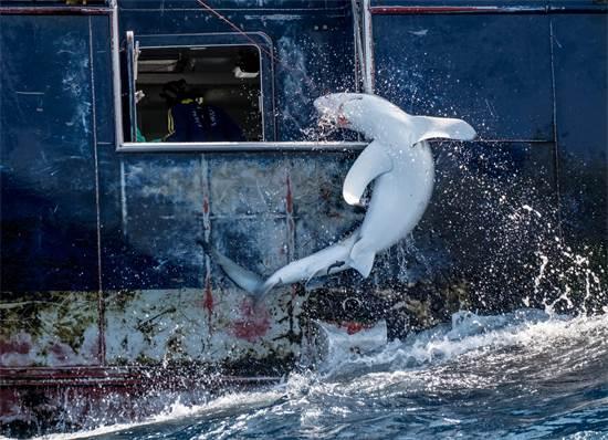 עמלץ כחול ניצוד מן הים באמצעות ספינת דיג באוקיאנוס האטלנטי, בו הוא מצוי בסכנת הכחדה. על פי הערכות, 100 מיליון כרישים נהרגים מדי שנה / צילום: Tommy Trenchard, גרינפיס