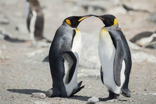פינגווינים מלכותיים באזור קינון בחלק הצפוני של אי הפיל באנטארקטיקה / צילום: Christian ?slund, גרינפיס