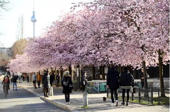 אנשי הולכים ברחובות ברלין לצד פריחת הדובדבן ב-22 במרץ / צילום: Annegret Hilse, רויטרס
