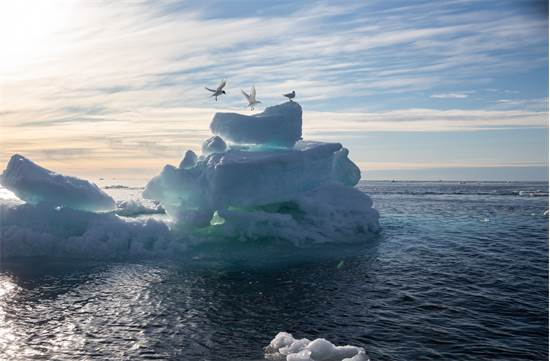 שחפים נוחתים על קרחון באוקיינוס הארקטי / צילום: Daniella Zalcman, גרינפיס