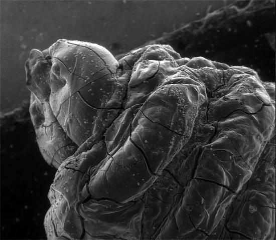 """זחל של דבורה בן 2,900 שנה. מחקר של פרופ' עמיחי מזר, האוניברסיטה העברית / צילום מתך התערוכה """"היופי במדע"""""""