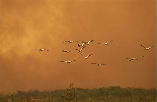 ציפורים עפות מאזור השריפה בשטחי הפנטנאל  / צילום: Andre Penner, AP