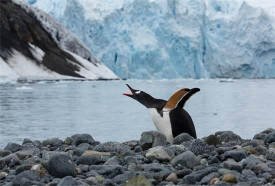 פינגווין מזן ג'נטו באנטארקטיקה  / צילום: Abbie Trayler-Smit, גרינפיס