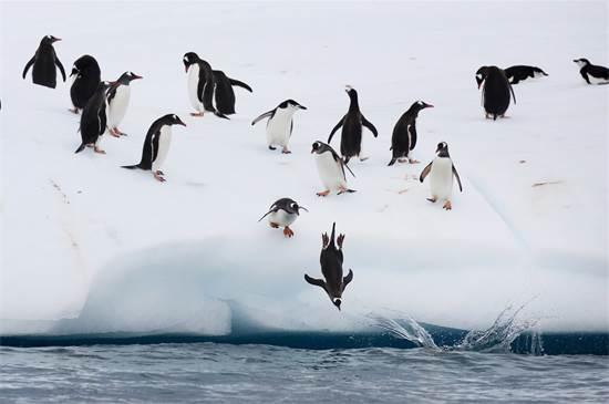פינגווינים יוצאים לצייד בקפיצה מקרחון באנטארקטיקה / צילום: Abbie Trayler-Smit, גרינפיס