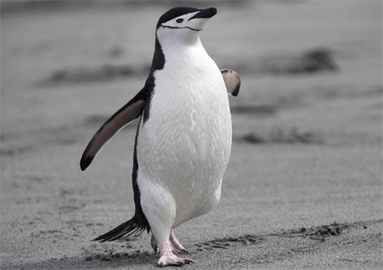 פינגווין רצועת הסנטר באי הפיל באנטארקטיקה / צילום: Abbie Trayler-Smit, גרינפיס