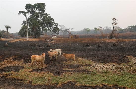 עדר פרות באזור בפנטנאל שנפגע מהשריפות / צילום: Amanda Perobelli, רויטרס