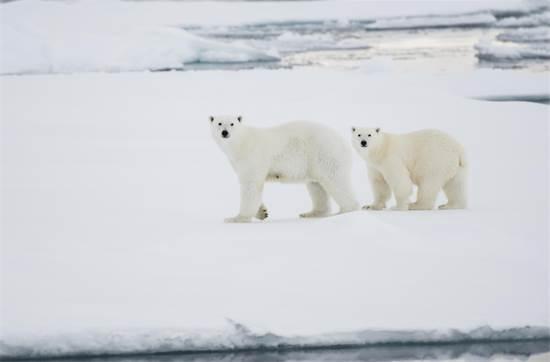 דובי קוטב באוקיינוקס הארקטי בספטמבר 2012. בשמונה השנים האחרונות הקרח נמס אף יותר / צילום: Daniel Beltr?, גרינפיס