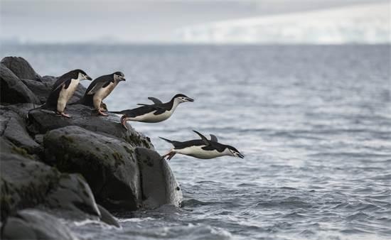 """פינגווין """"רצועת הסנטר"""", שאוכלוסייתו הצטמקה באנטרקטיקה בעד 77% במשך 50 שנים. כל מושבת פינגווינים בודדת שנבדקה באזור על ידי גרינפיס, נמצאת בדעיכה / צילום: Christian Åslund, גרינפיס"""