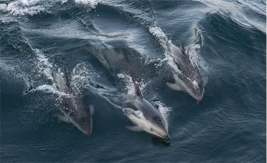 דולפיני דאסקי שוחים בצוותא בארגנטינה. הם נודעים בזכות פעלולי הקפיצות המיוחדים שלהם ונחשבים לאחד המינים החכמים ביותר בטבע, אך נפגעים מדיג יתר, ציד ופסולת ימית / צילום: Martin Katz, גרינפיס