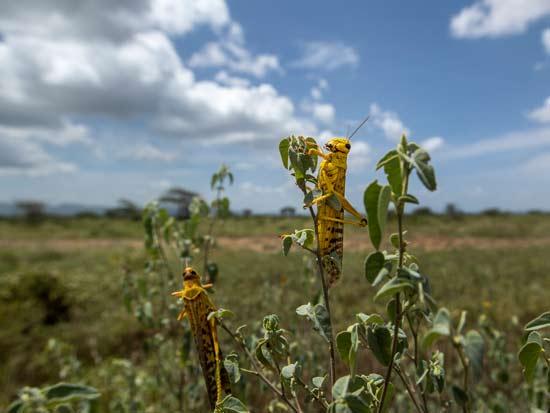 קניה, פברואר 2020. הארבה מחסל את היבולים / צילום: AP - Ben Curtis