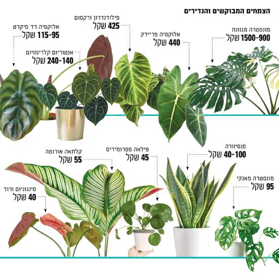 הצמחים המבוקשים והנדירים / צילומים: מני קליף, Shutterstock | א.ס.א.פ קריאייטיב