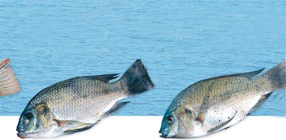 דגים מושט / צלם: יחצ
