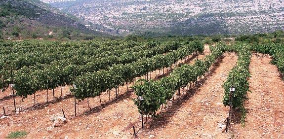 יקבי צרעה / צילום: סטודיו עמרי מירון