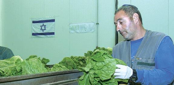 Gush Katif lettuce