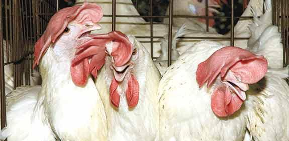 תרנגולות בכלובי סוללה / צילום: אנונימוס