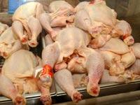 עוף עופות תרנגולת / צלם: אריאל ירוזלימסקי