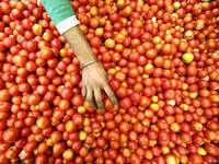 עגבניות, ירקות / צלם רויטרס