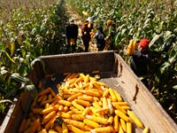 תירס, חקלאות סחורות / צלם: רויטרס
