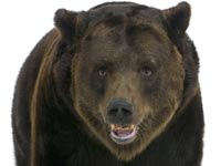 דובים דב ירידות בורסה / צלם: פוטוס טו גו