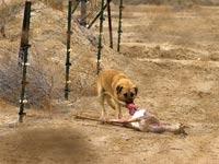 כלבים משוטטים / צילום: דורון ניסים - רשות הטבע והגנים